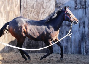 Garswood colt on the lunge